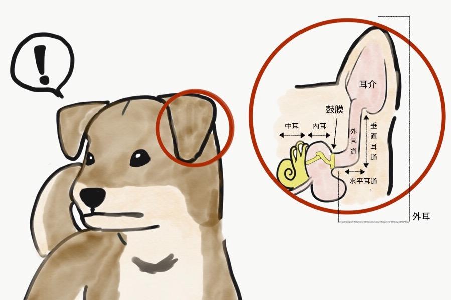 犬 耳 掃除 犬の耳掃除やり方、初心者も綺麗なケアお手入れ(動画)